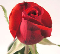 ROUGE BAISER RED ROSES VIP long stem florist red roses, the best collection of red roses in USA and Canada now available to your florist shop... Black Magic red roses, Rouge Baiser red roses, Red France red roses, Queen 2000 red roses... Rose Connection Inc. Los Angeles California offers the most fresh and premium red flowers in USA and Canada, wholesale roses to florist shop at wholesale prices Fedex Free delivery included